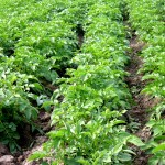 8 TIPS FOR POTATO FARMING IN AFRICA